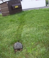 A Turtle I Spotted, May 2012 - turtles photo