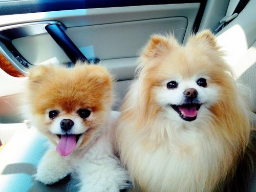 Boo & Buddy wallpaper with a pomeranian entitled Boo & Buddy! ♥