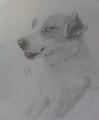Jack Russell - drawing photo