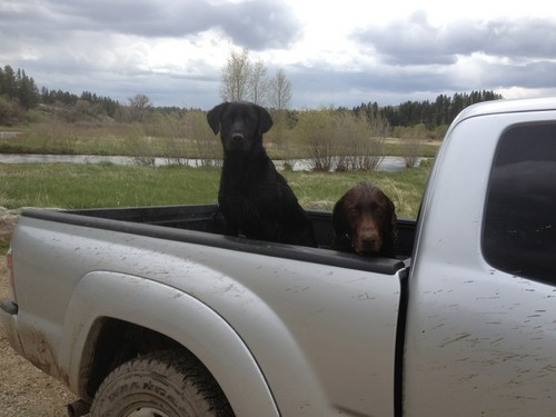 My two dogs in the back of my Tacoma