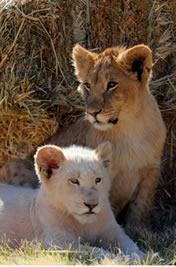 Simba and Nala (cubs)