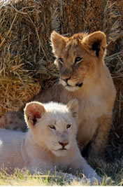 Simba and Nala real life cubs - the-lion-king-cubs Photo