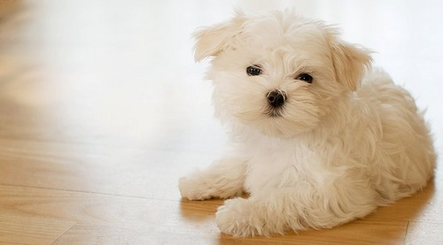 YouTube wallpaper containing a maltese dog called anime pixs