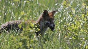 cute fox, mbweha