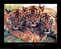 Cute tiger cubs