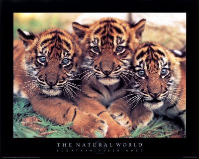 Cute tiger cubs - tigers Photo