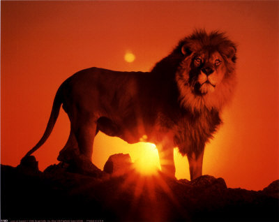 Lion over the sunset