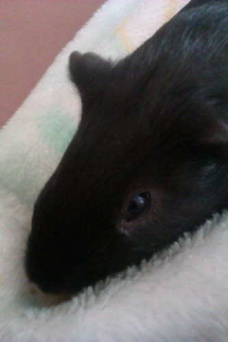Lobo The Guineapig