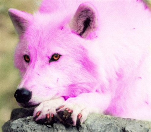Pink wolf  - alpha-and-omega Photo