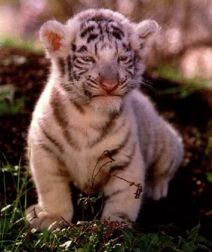 tijgerwelp, tiger cub