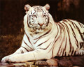 White Tiger - tigers photo