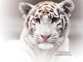 White Tiger - tigers wallpaper