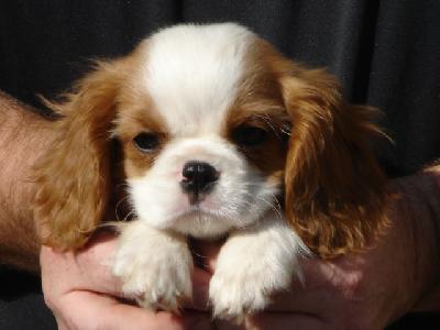 cavaleir king charles spaniel - puppies Photo