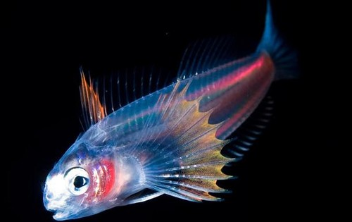 deep sea life wallpaper possibly with a guppy and a tetra entitled strange but real