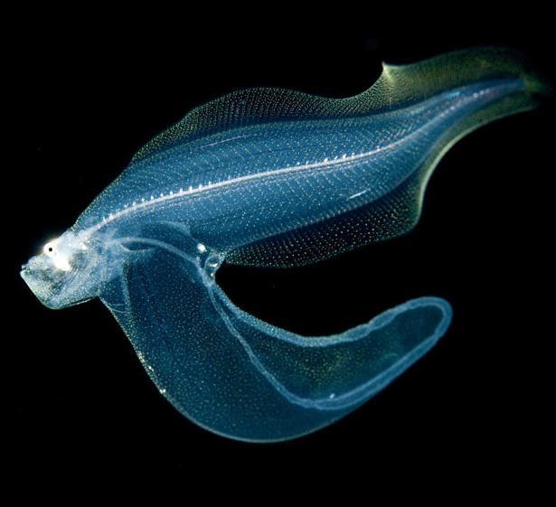 Strange but real deep sea life photo 31009709 fanpop for Deep sea fish