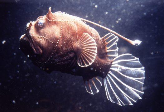 Strange but real deep sea life photo 31013344 fanpop for Weird deep sea fish
