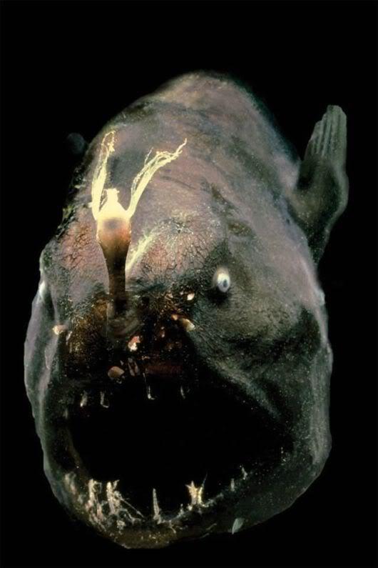 Strange but real deep sea life photo 31026514 fanpop for Weird deep sea fish