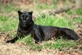 Black Panthers - black-panthers photo