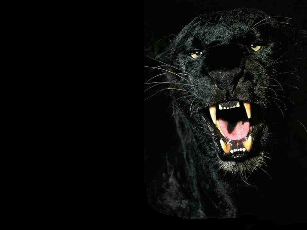 Black Panthers Black Panthers