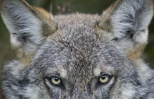 Iberian lobo