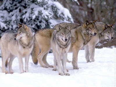 Iberian भेड़िया
