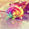 arc en ciel Rose