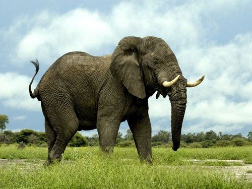 african tembo