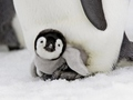 baby penguin - animals photo