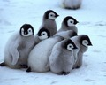 baby penguins - animals photo