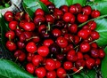 cherries - fruit photo