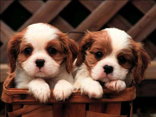 puppies and more wallpaper probably with a king charles spaniel and a blenheim spaniel titled cute puppies