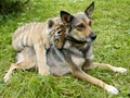 dog and tiger cub - tigers photo