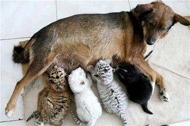 dog nursing 虎