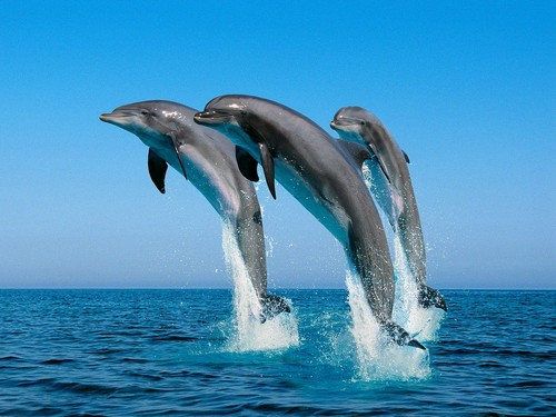 Animals wallpaper containing a billfish and a marlin titled dolphins