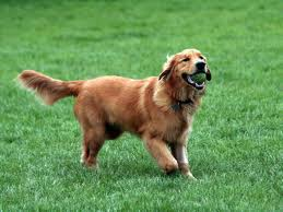Golden Retrievers 壁紙 entitled golden retrievers