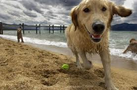 Golden Retrievers wallpaper possibly with a golden retriever titled golden retrievers