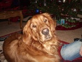 gunner my dog!! - golden-retrievers photo