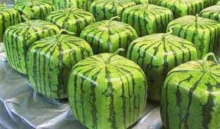 square pastèque, melon d'eau