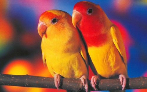 Birds  - animals Wallpaper