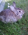 Cottontail - rabbits photo