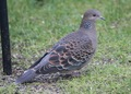 Dove - doves photo