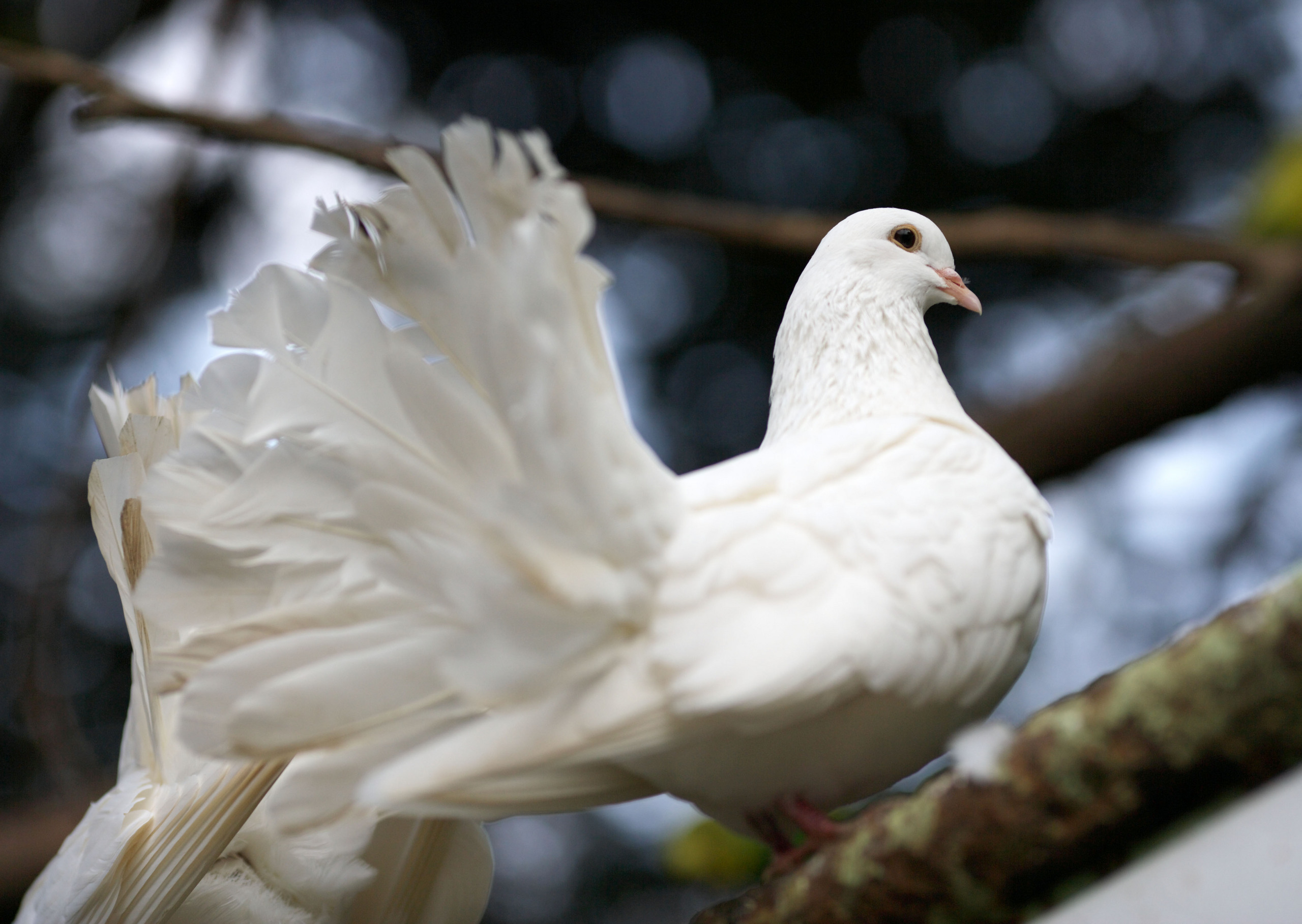 doves images dove hd wallpaper and background photos