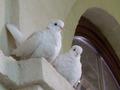 Doves