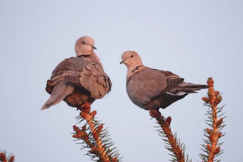 Doves wallpaper with a carrier pigeon, a homing pigeon, and a dove entitled Doves