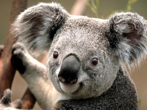 Fucking Koala