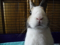 My bunny, Bruno - bunny-rabbits photo