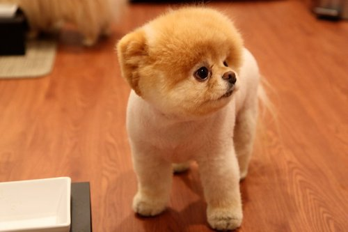 omg, i love this dog, (Boo the dog)