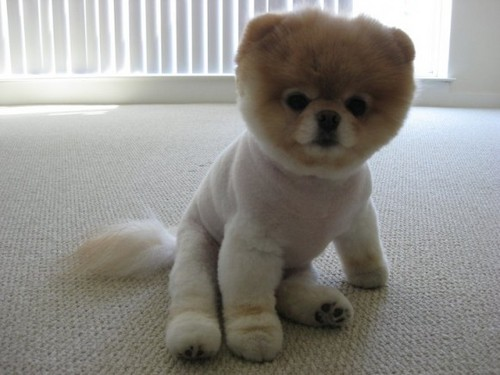 the cuttest dog in the world (Boo the dog)