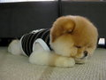 the cuttest dog in the world (Boo the dog) - puppies photo
