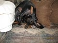 ~ Try this! - dachshunds photo